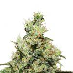 Warum Sie Cannabissamen verwenden sollten?